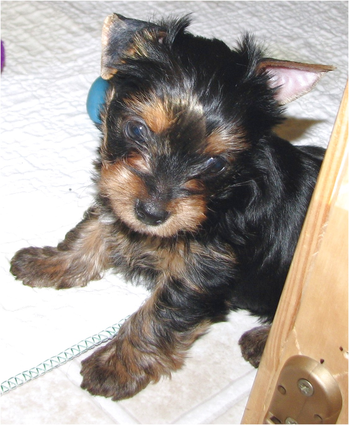 yorkshire terrier for sale virginia