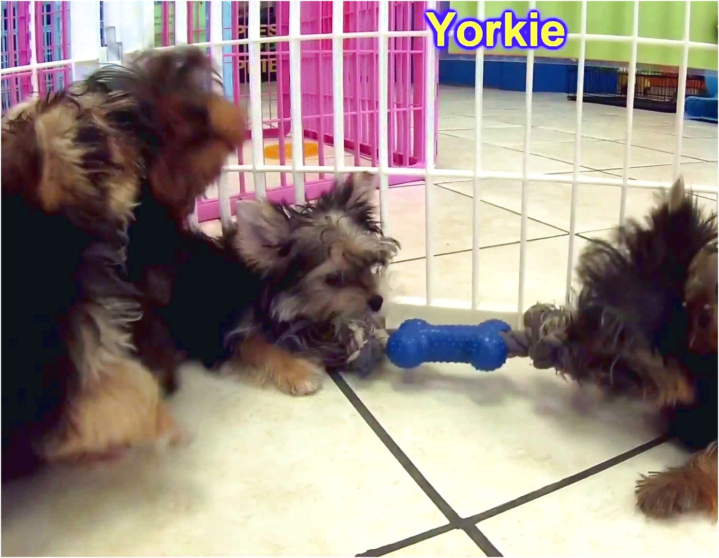 yorkshire terrier for sale washington state