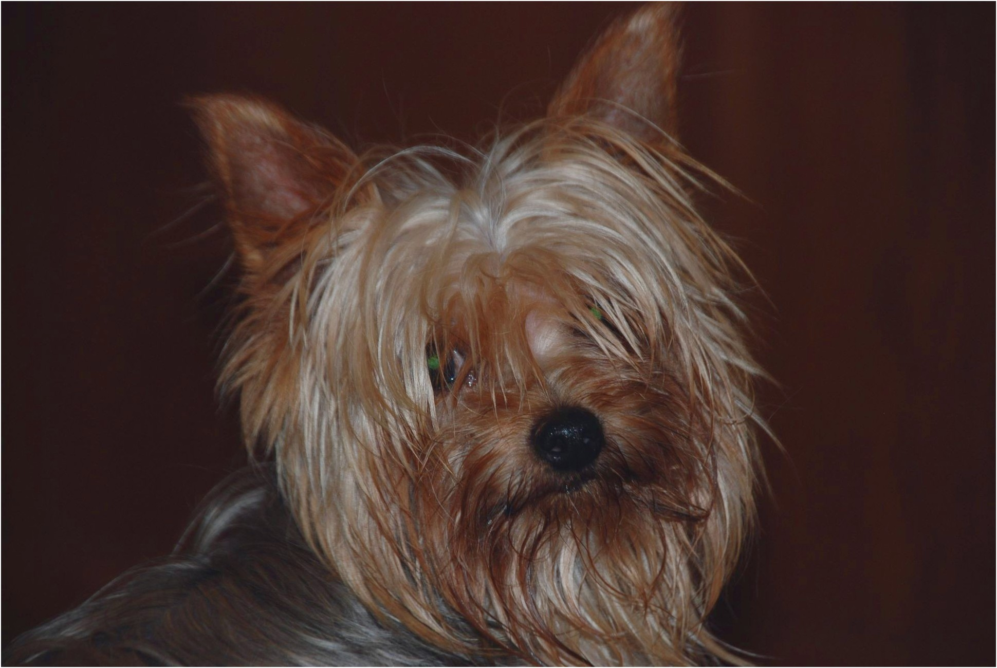 yorkshire terrier for sale west sussex