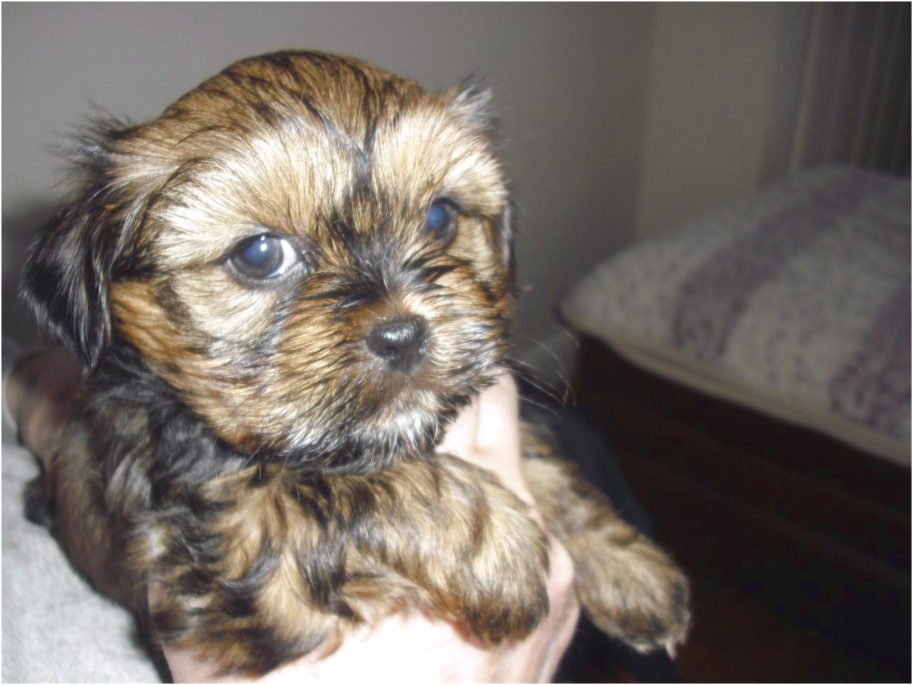 yorkshire terrier for sale wigan