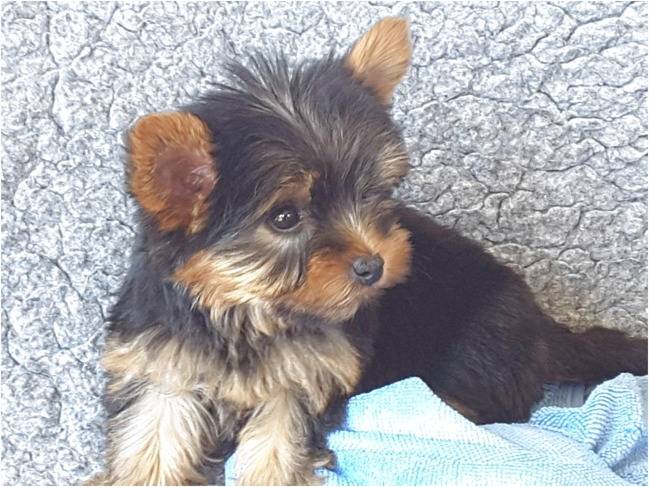 yorkshire terrier for sale wiltshire