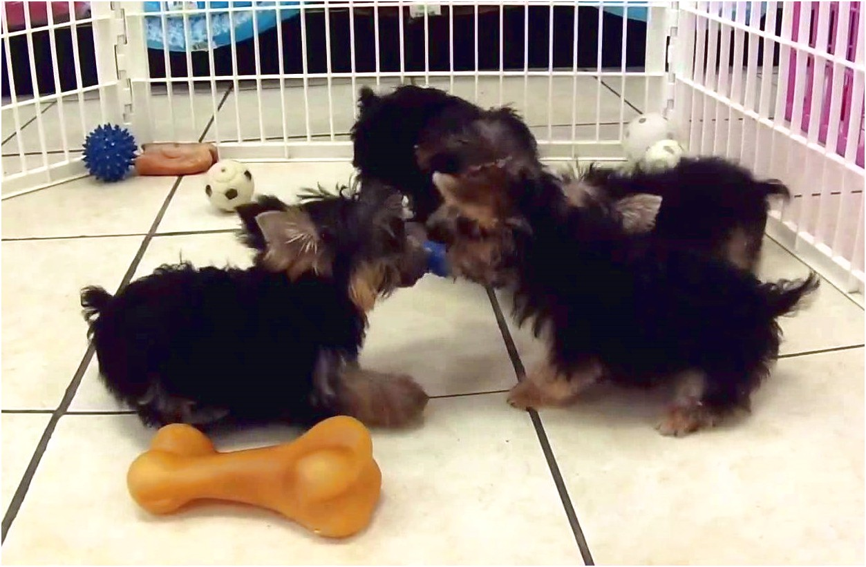 yorkshire terrier for sale wisconsin