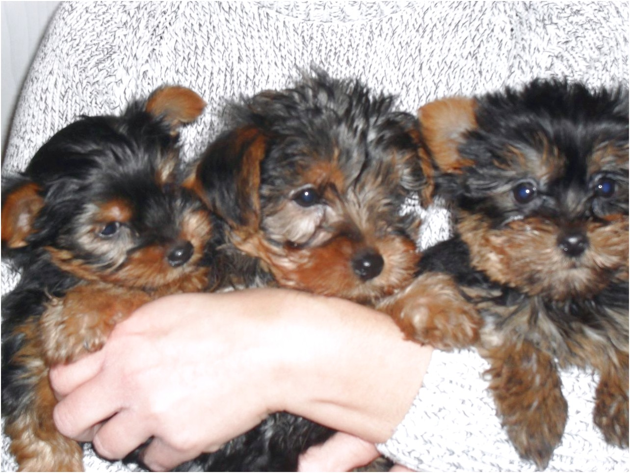 yorkshire terrier for sales