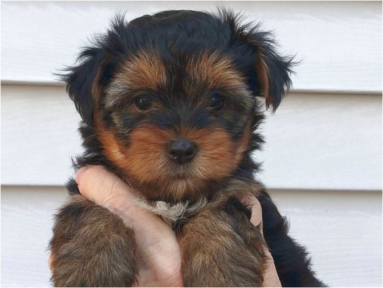 yorkshire terrier nh sale