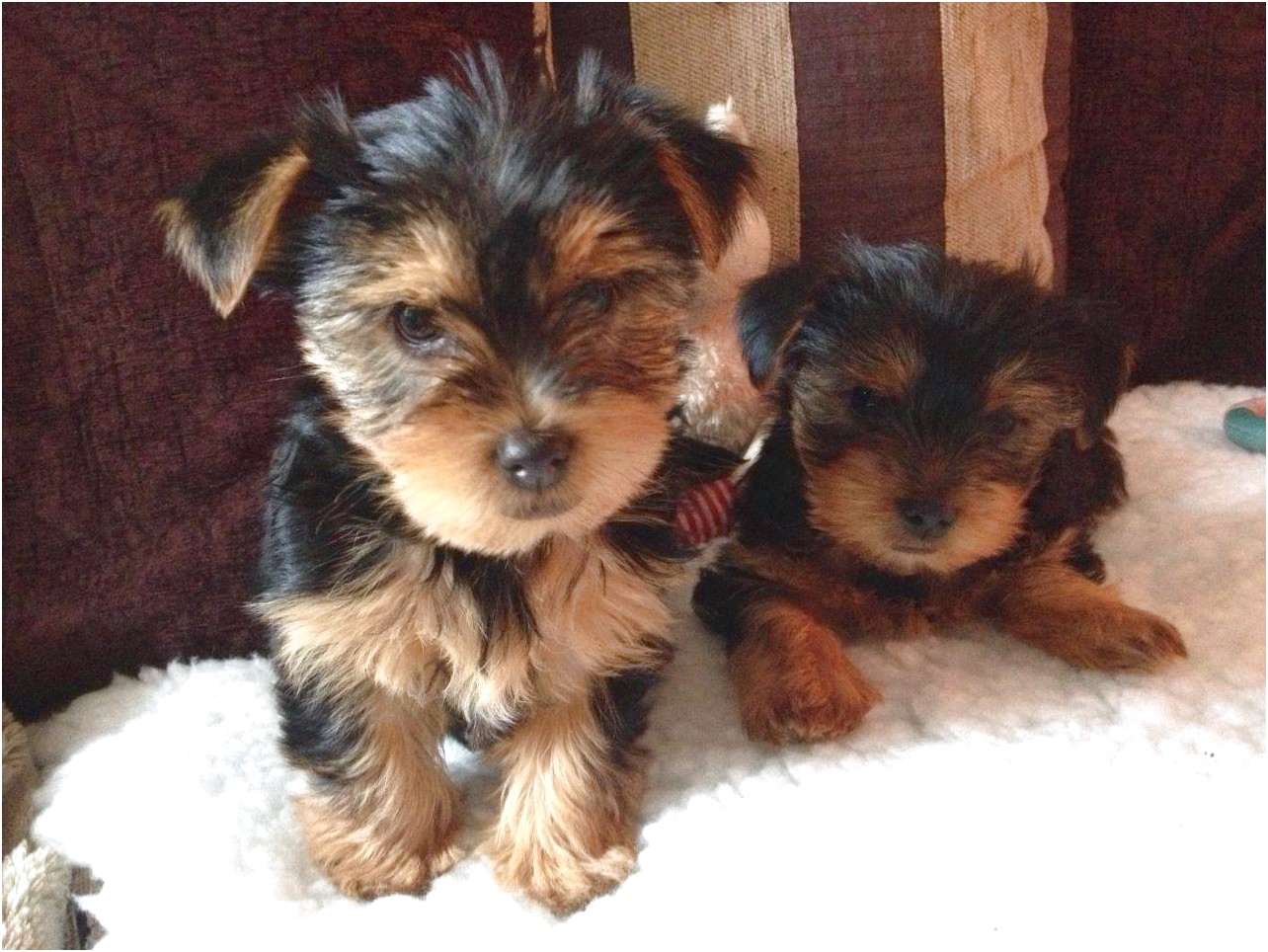 yorkshire terrier on sale
