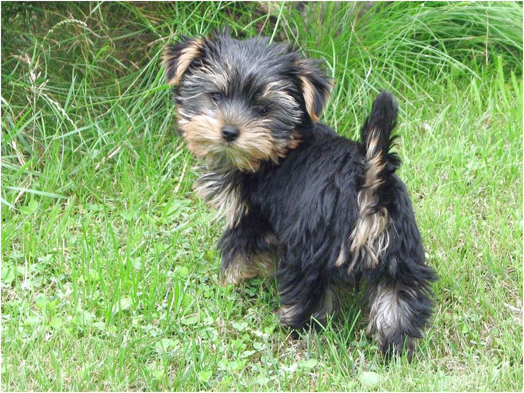 yorkshire terrier pup noord holland