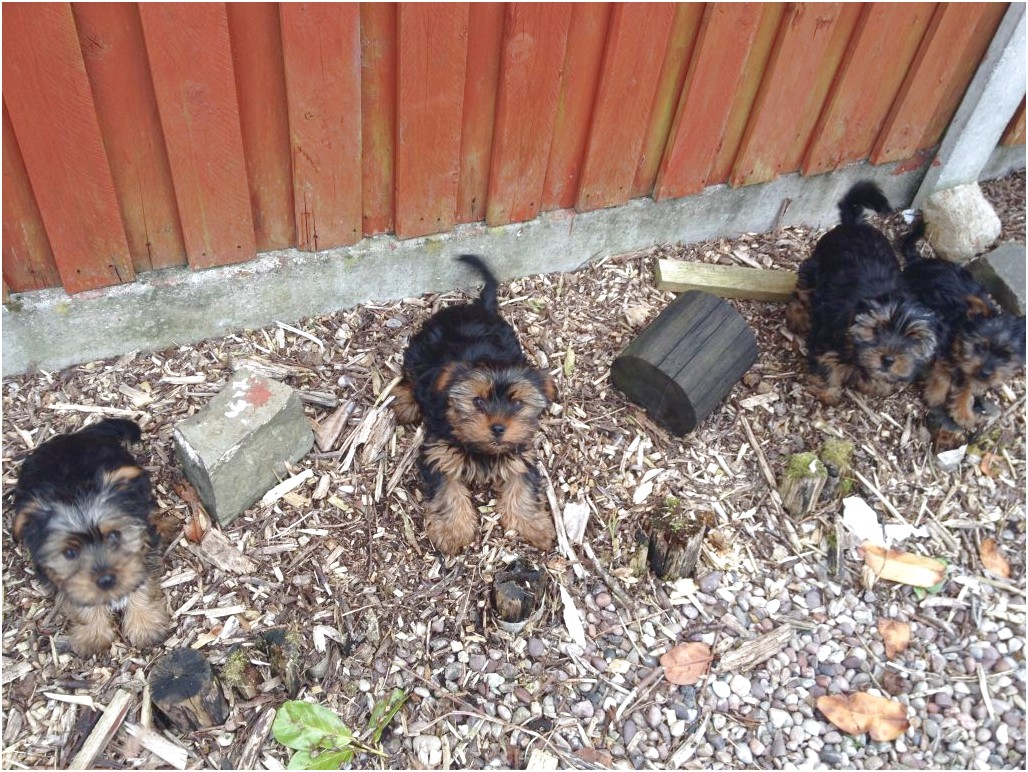 yorkshire terrier puppies 12 weeks
