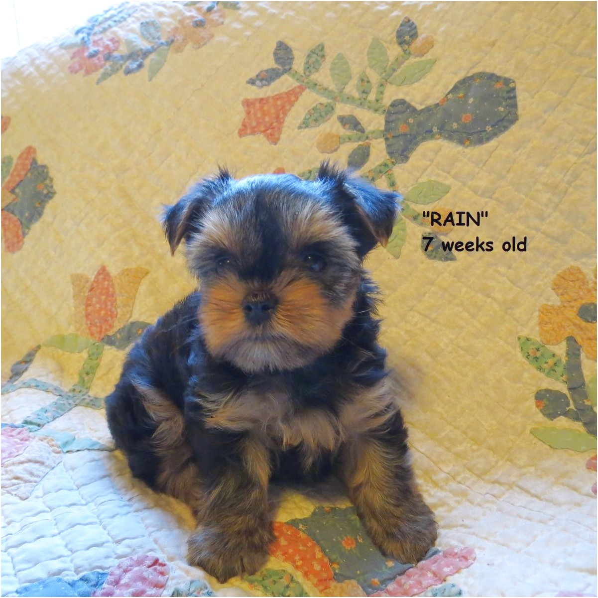 yorkshire terrier puppies 7 weeks old
