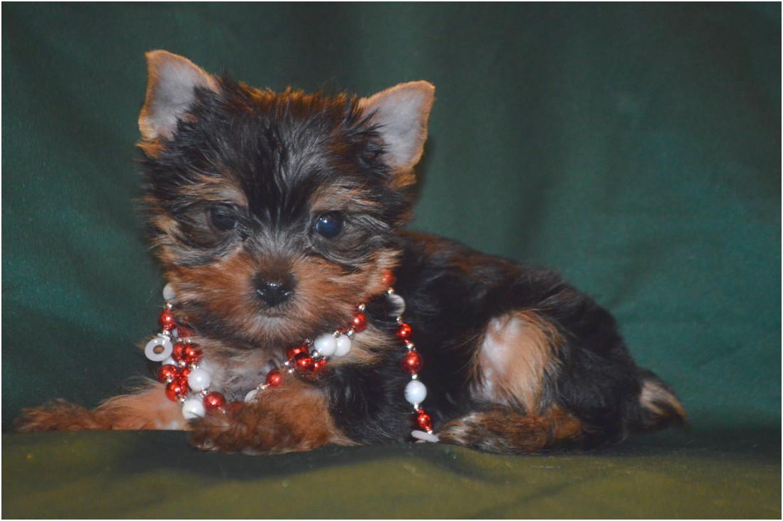 yorkshire terrier puppies adelaide