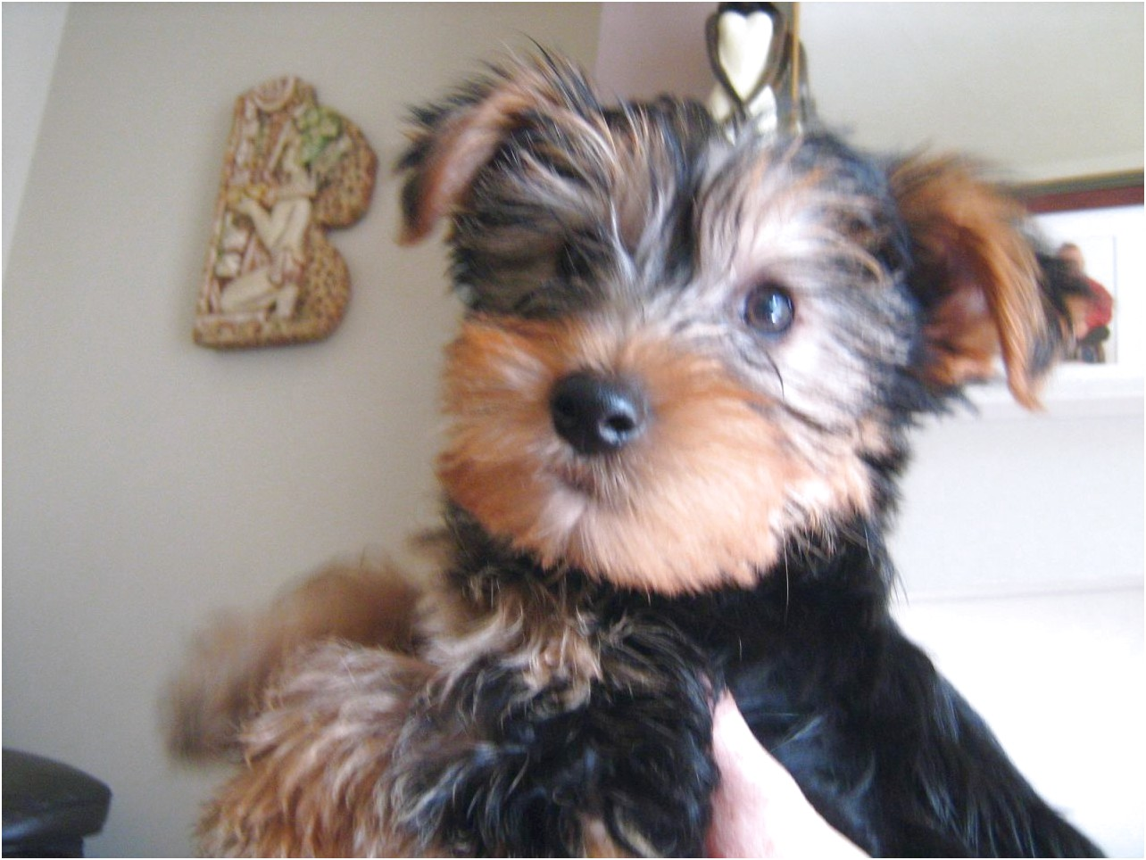 yorkshire terrier puppies bolton