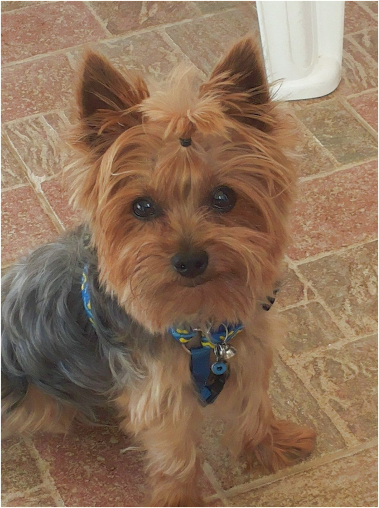 yorkshire terrier puppies brisbane