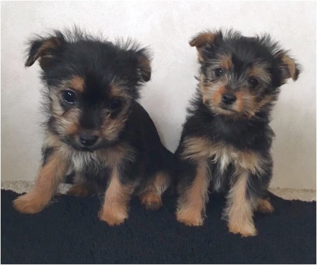 yorkshire terrier puppies cambridgeshire