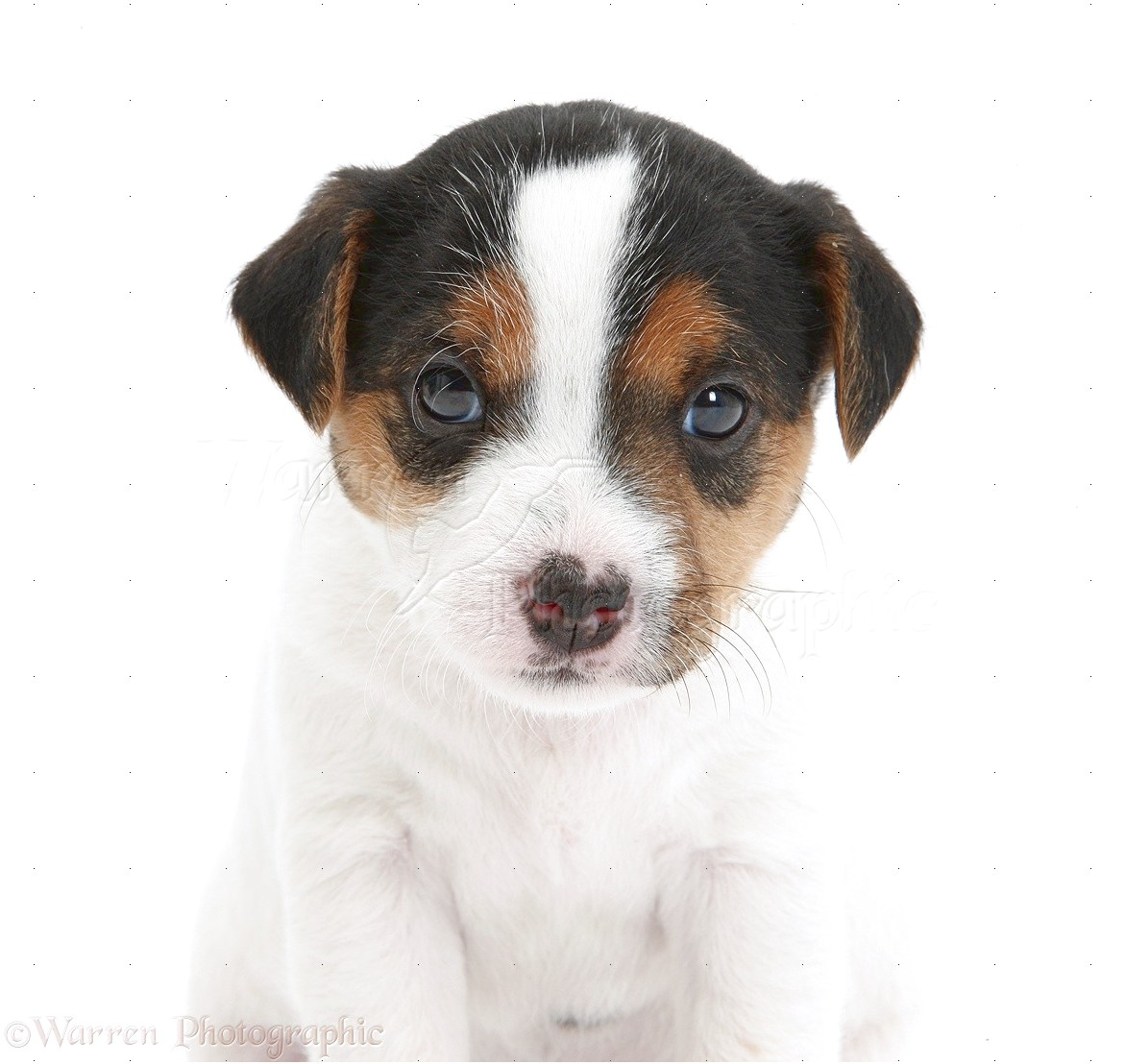yorkshire terrier puppies cross jack russell