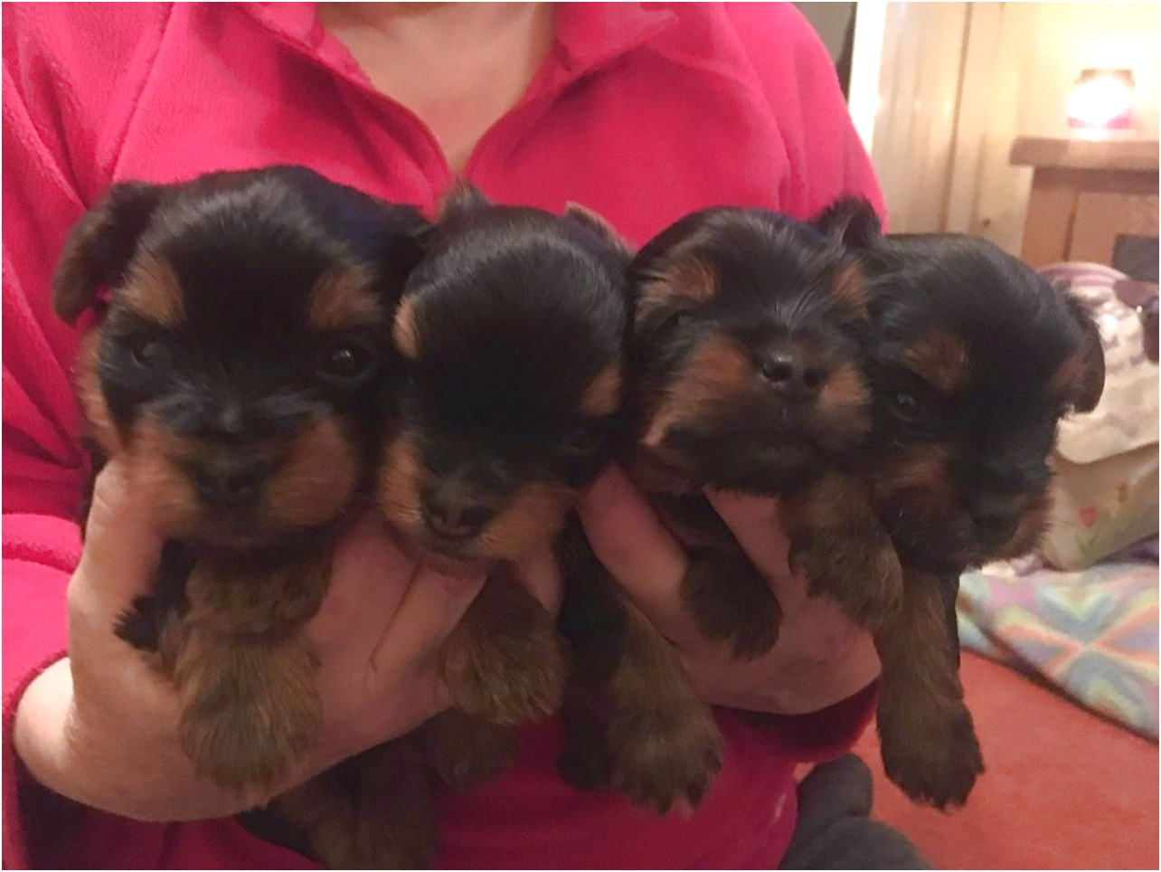 yorkshire terrier puppies derbyshire