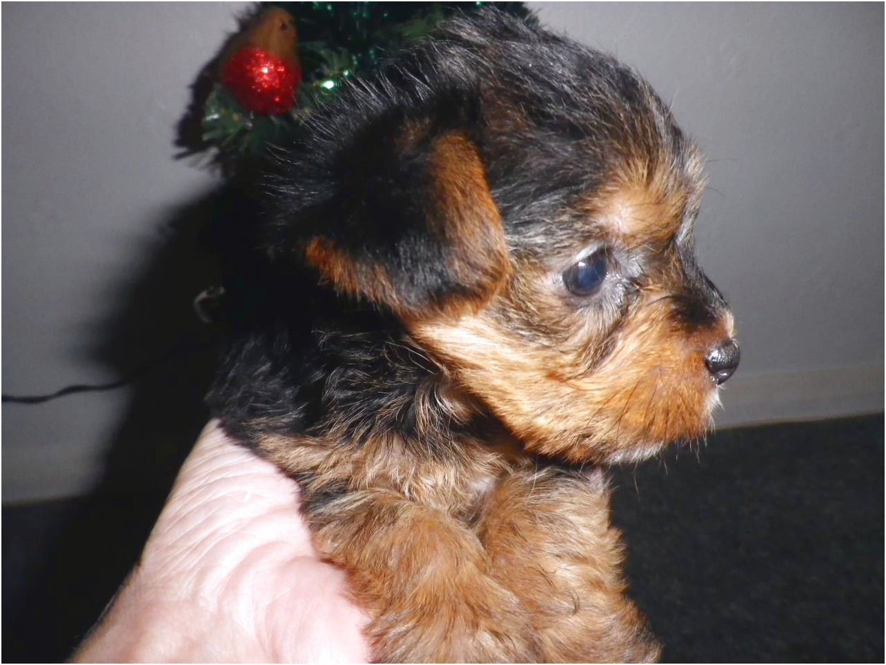 yorkshire terrier puppies devon
