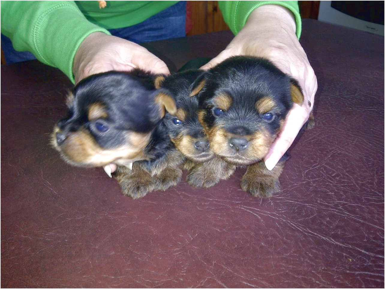 yorkshire terrier puppies doncaster