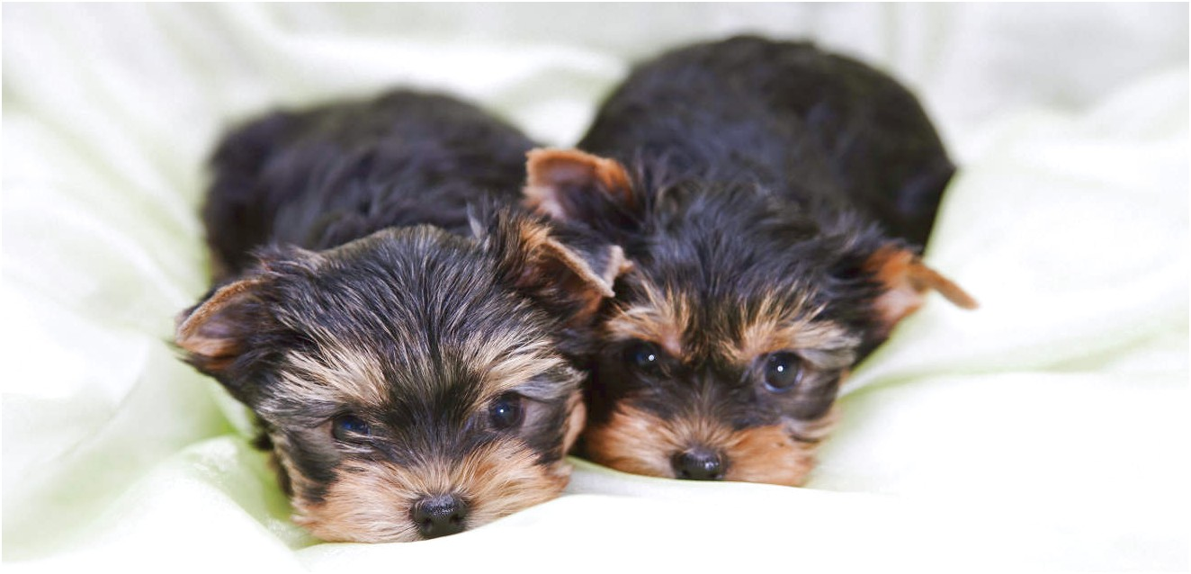 yorkshire terrier puppies for adoption near me