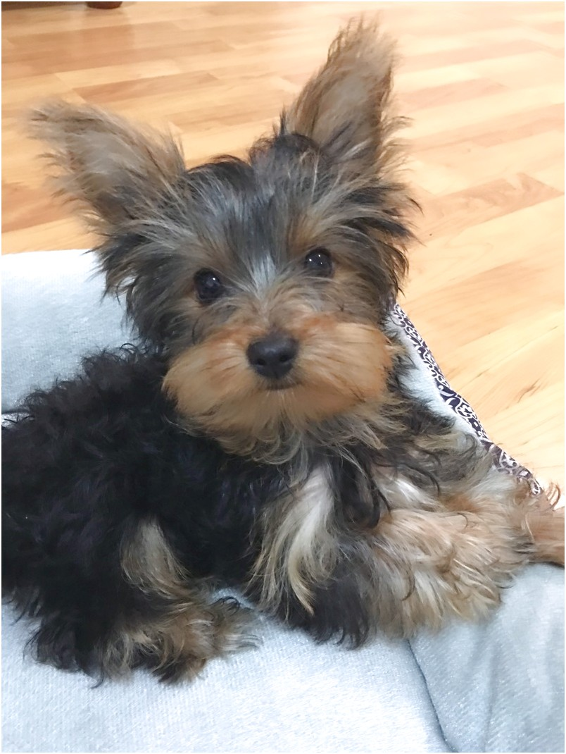 yorkshire terrier puppies for sale australia