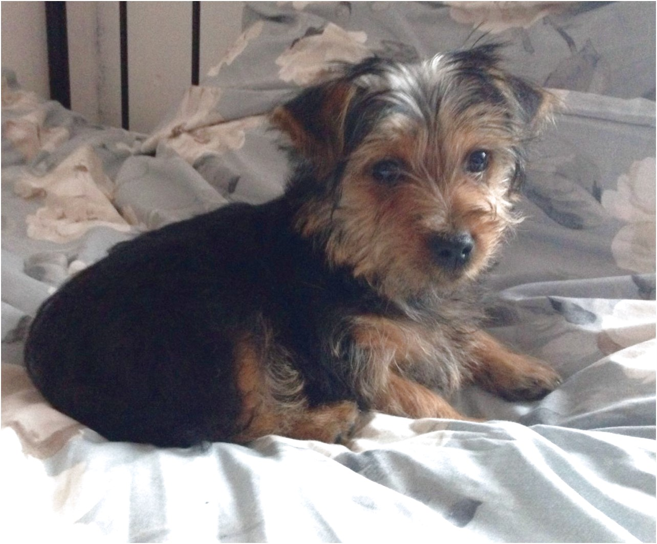 yorkshire terrier puppies for sale essex