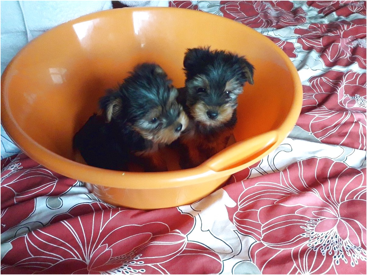 yorkshire terrier puppies for sale gumtree