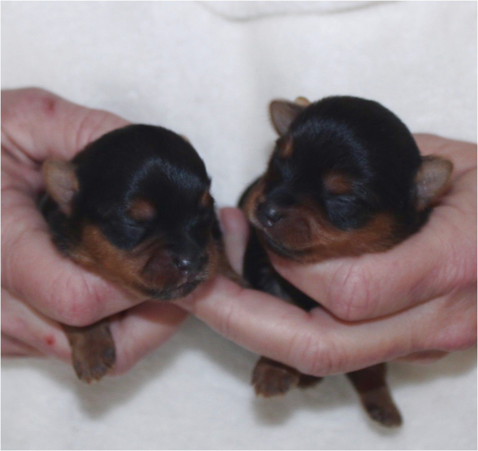 yorkshire terrier puppies for sale hampshire