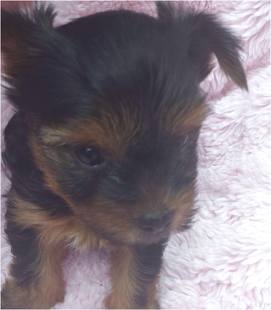 yorkshire terrier puppies for sale hertfordshire