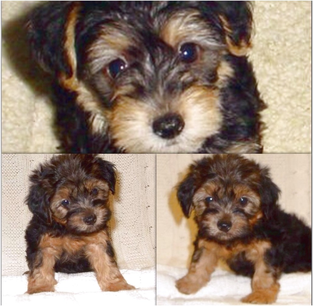 yorkshire terrier puppies for sale in arizona