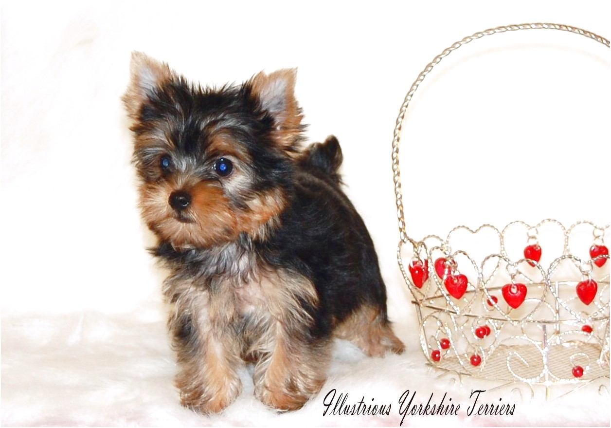 yorkshire terrier puppies for sale in illinois