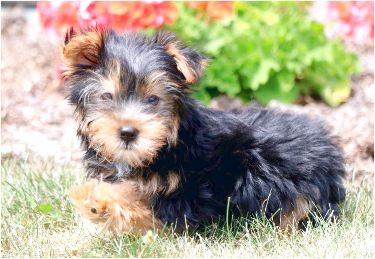 yorkshire terrier puppies for sale in ky