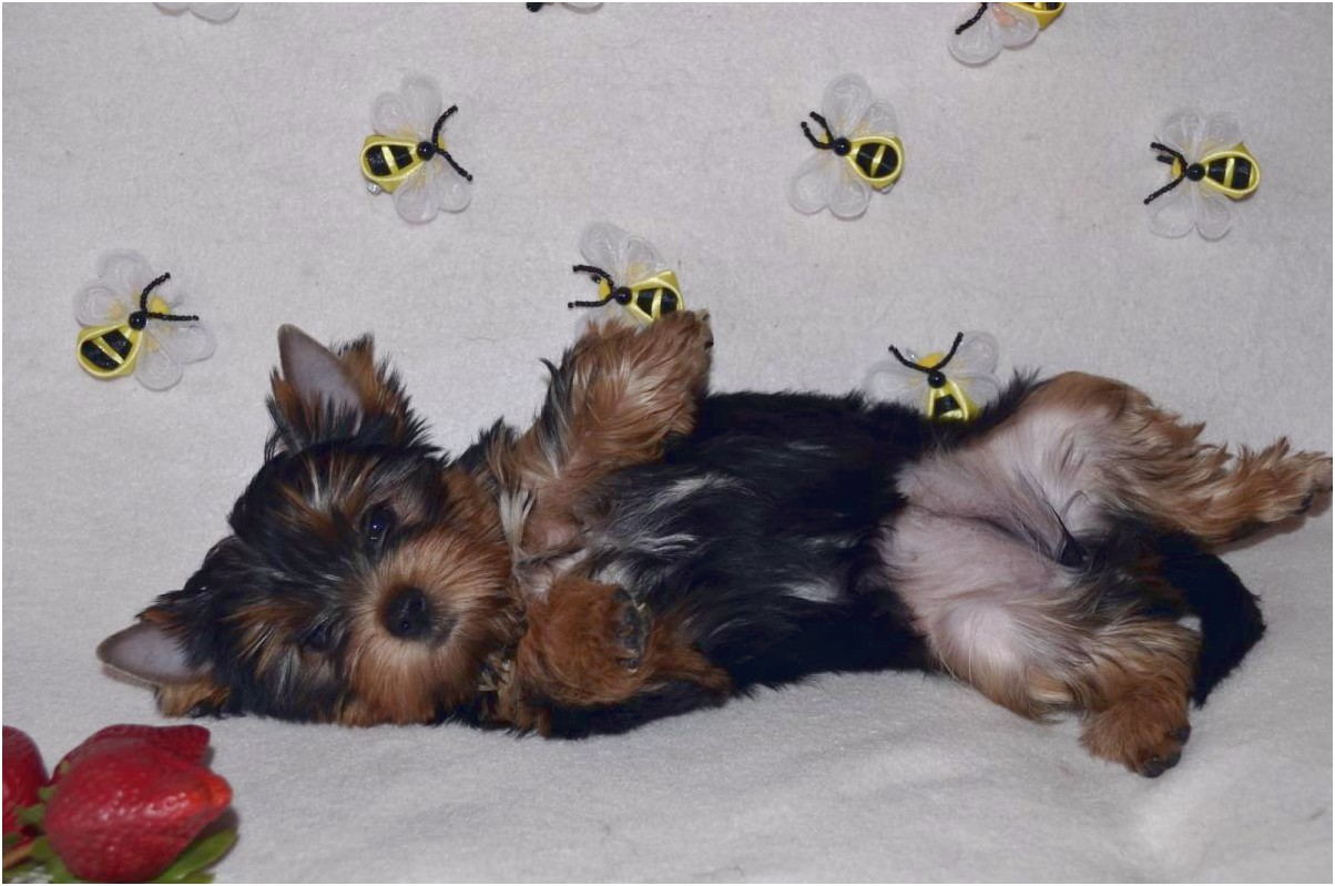 yorkshire terrier puppies for sale in louisiana