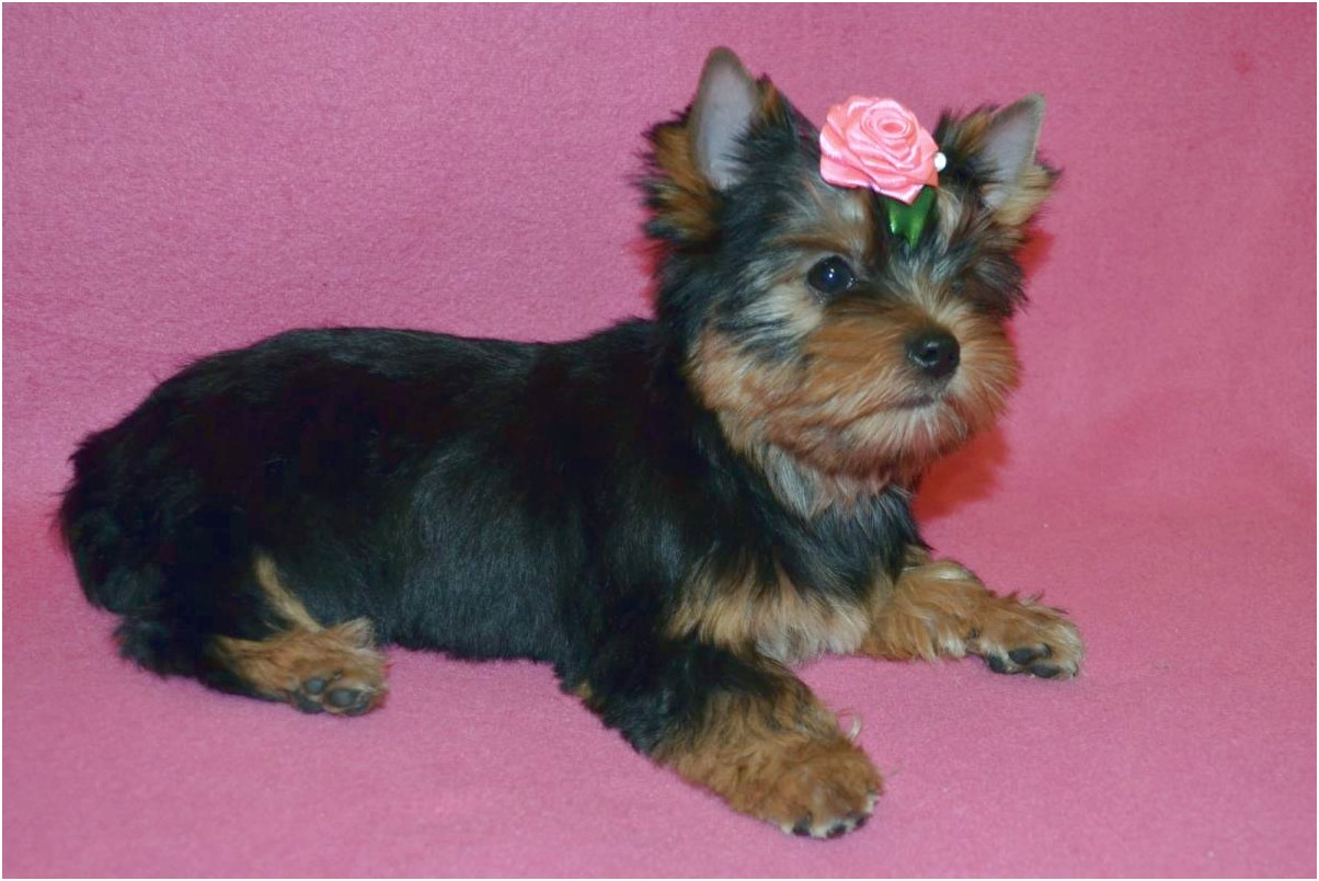 yorkshire terrier puppies for sale in missouri
