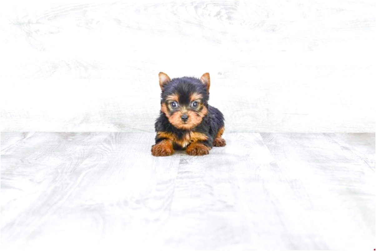 yorkshire terrier puppies for sale in ohio