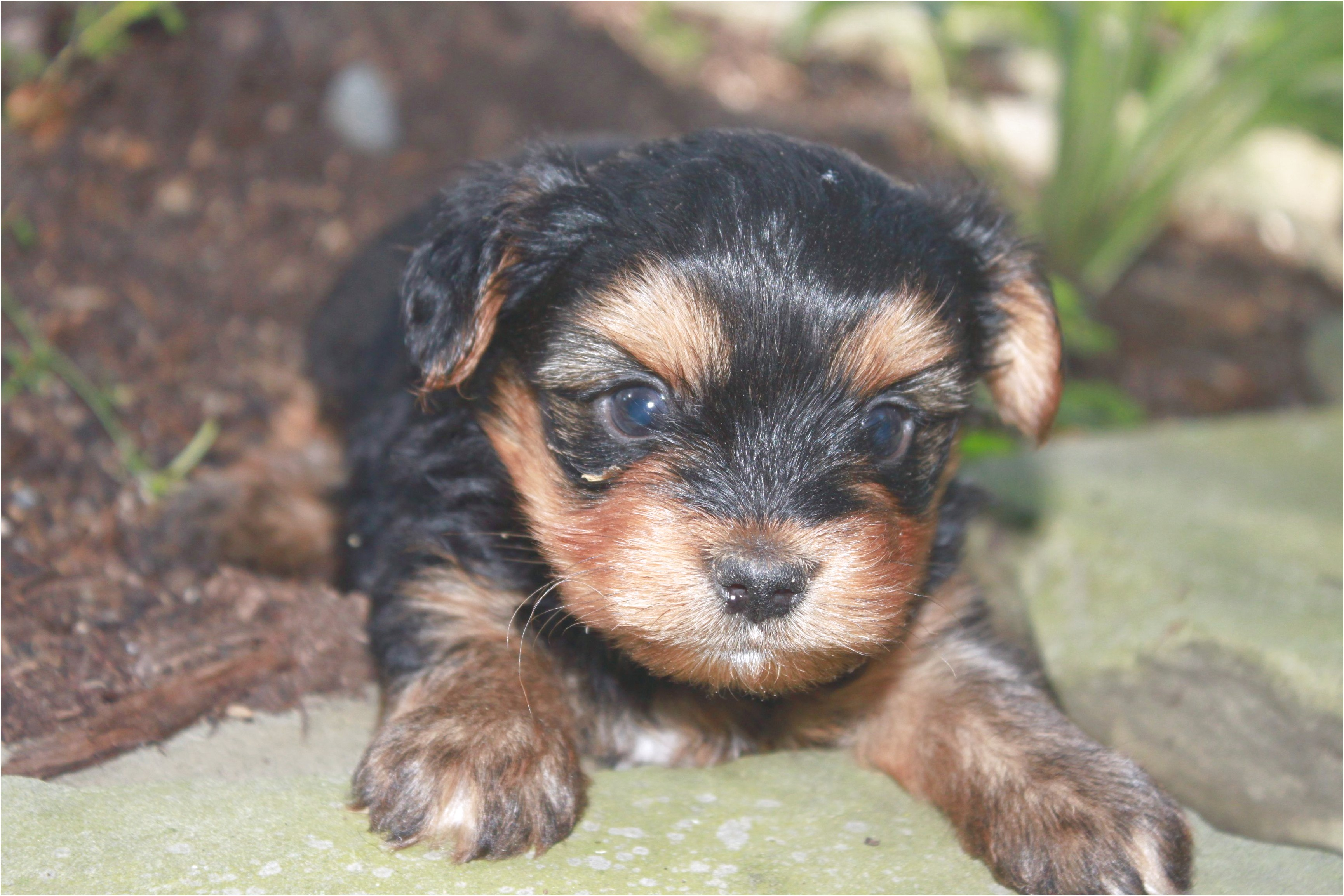 yorkshire terrier puppies for sale in pa