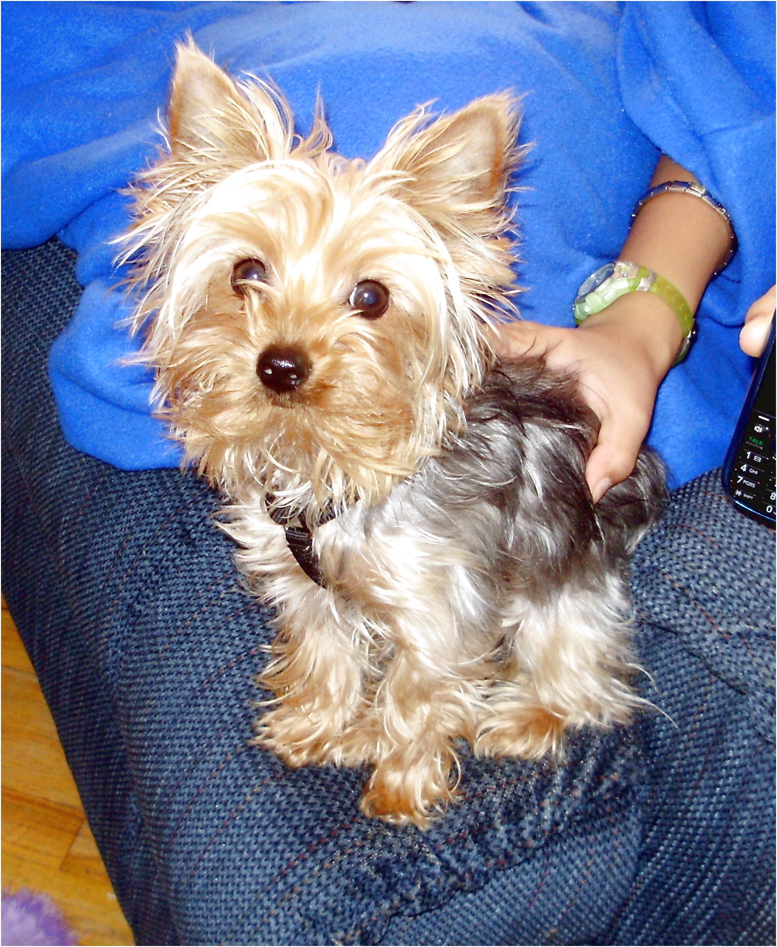yorkshire terrier puppies for sale kansas city
