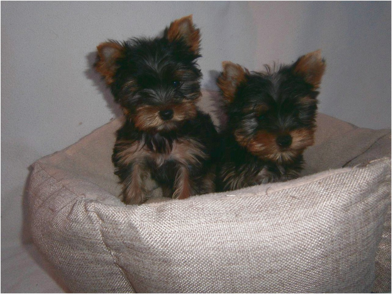 yorkshire terrier puppies for sale kansas