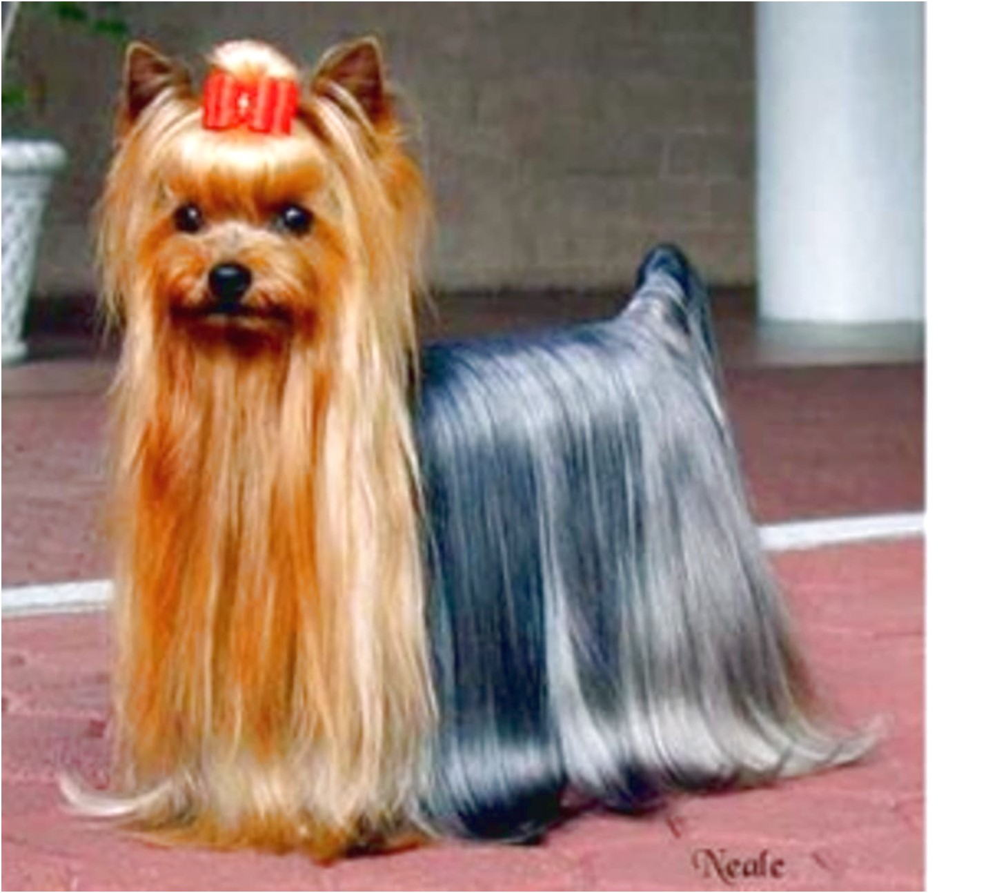 yorkshire terrier puppies for sale kennel club