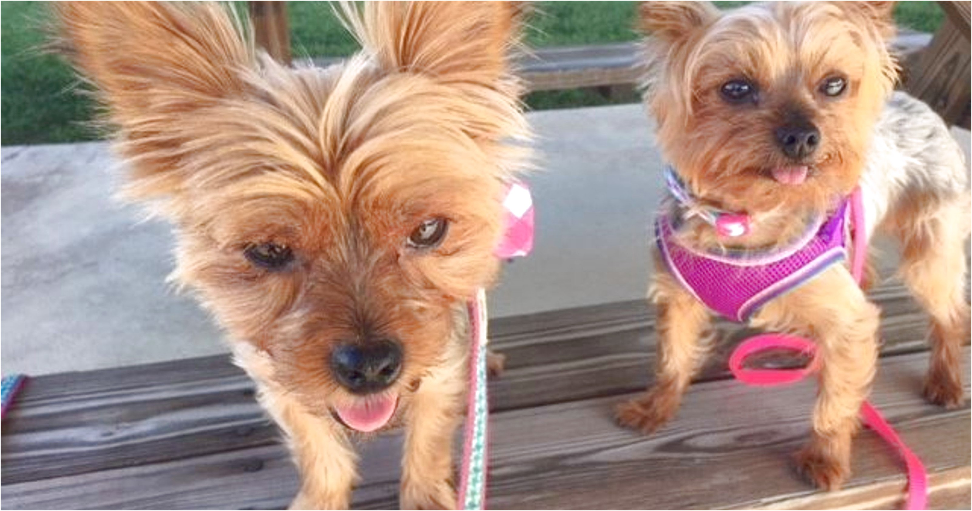 yorkshire terrier puppies for sale knoxville tn