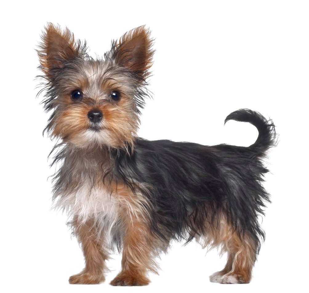 yorkshire terrier puppies for sale lancashire
