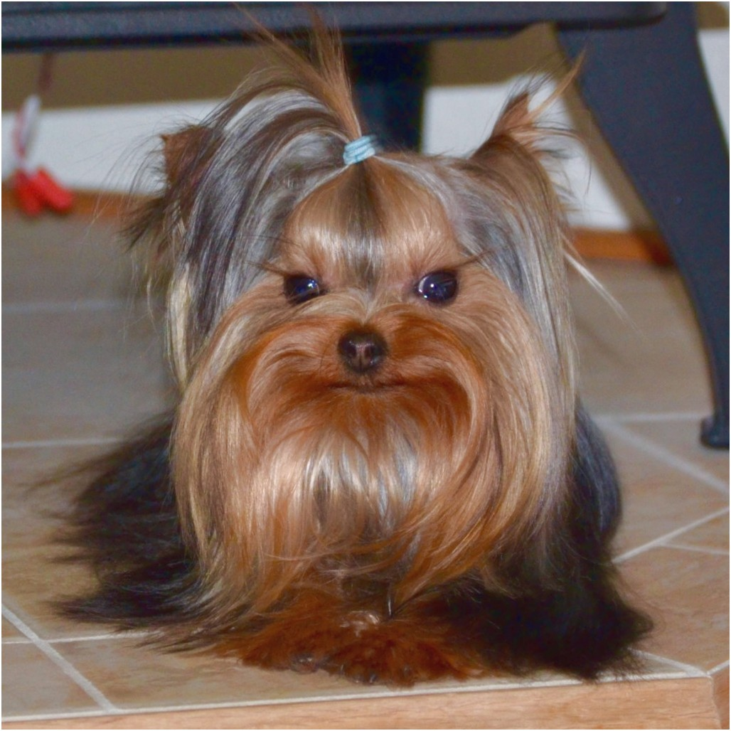 yorkshire terrier puppies for sale mn