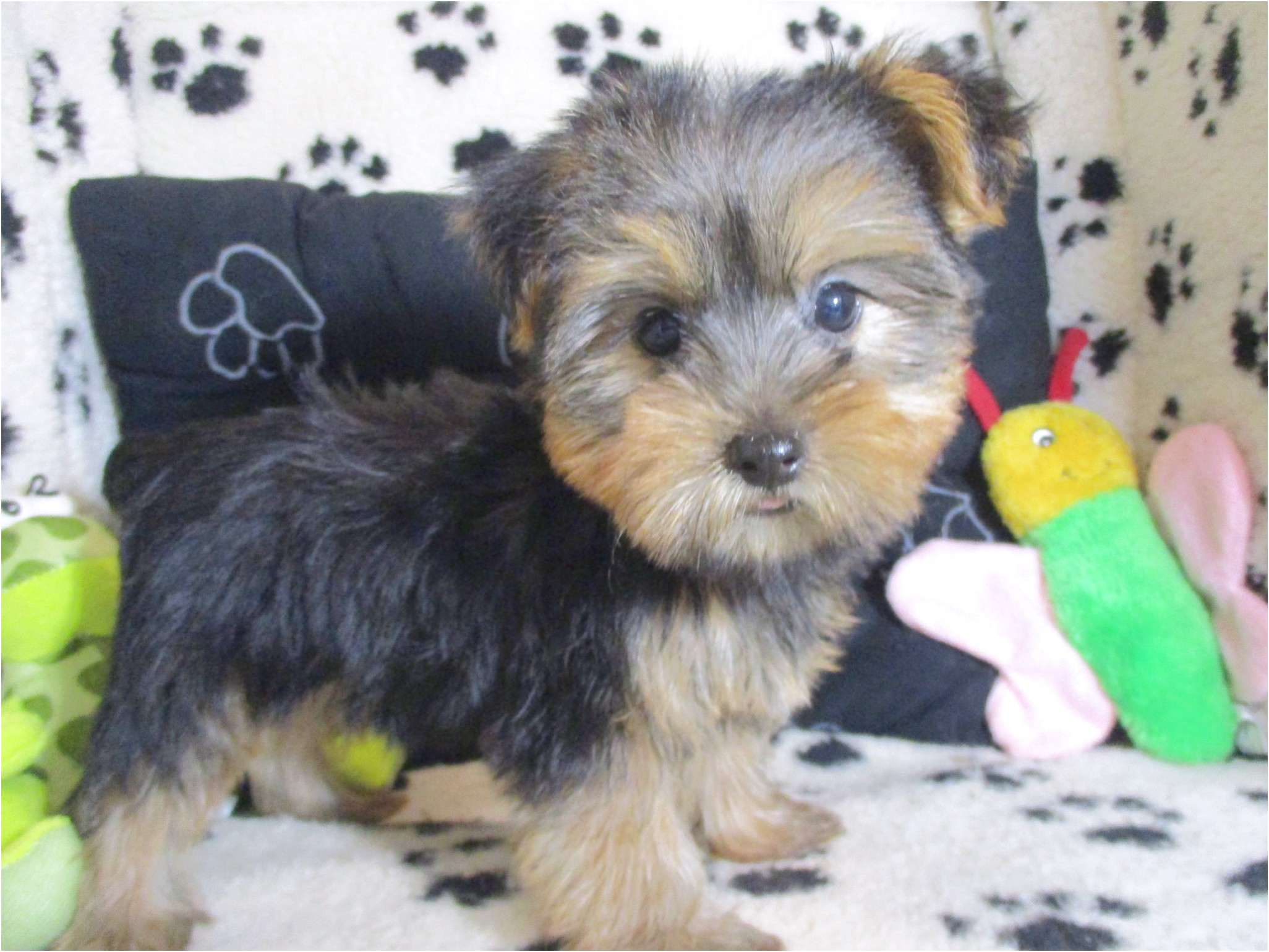 yorkshire terrier puppies for sale new jersey