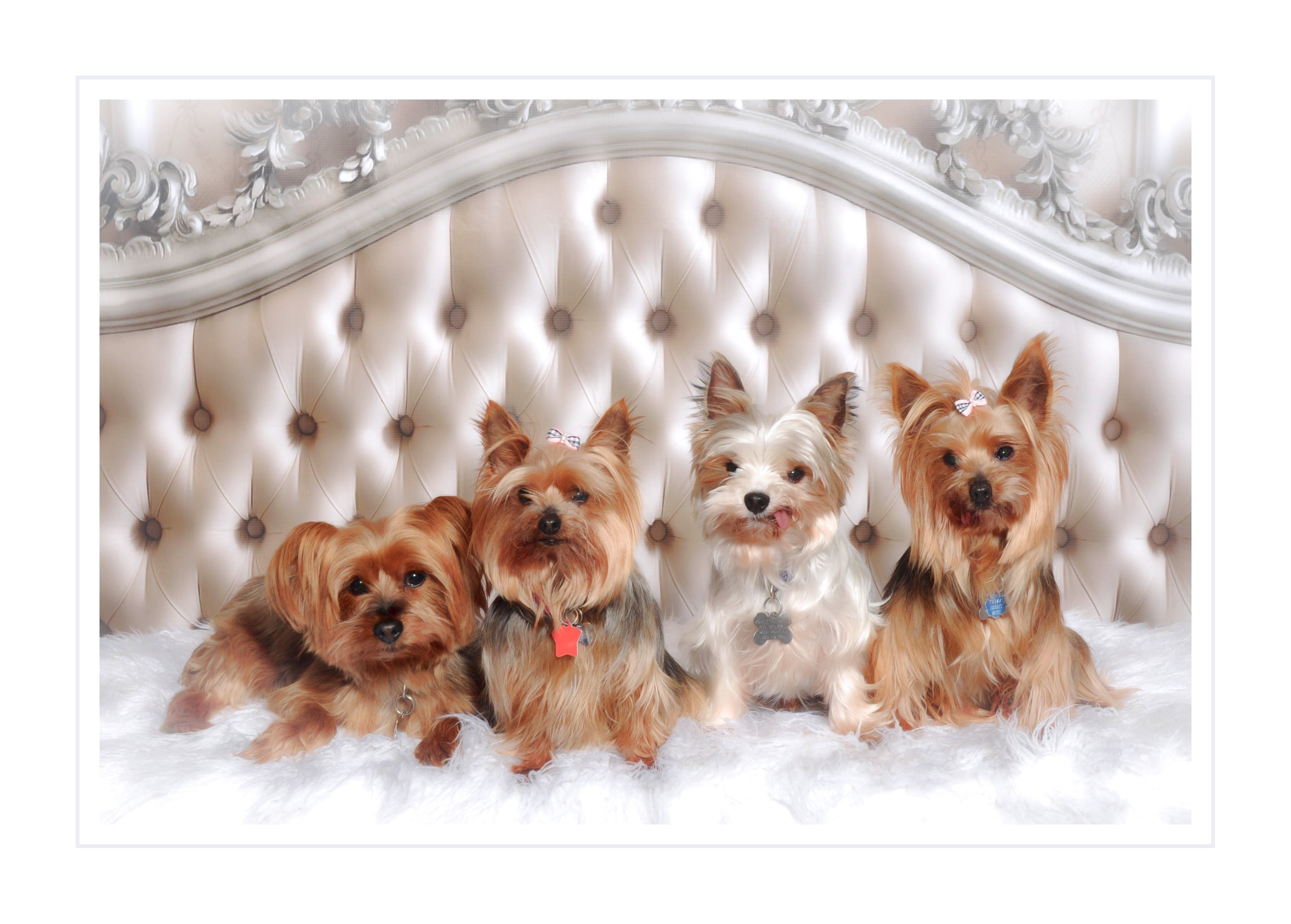 yorkshire terrier puppies for sale ny