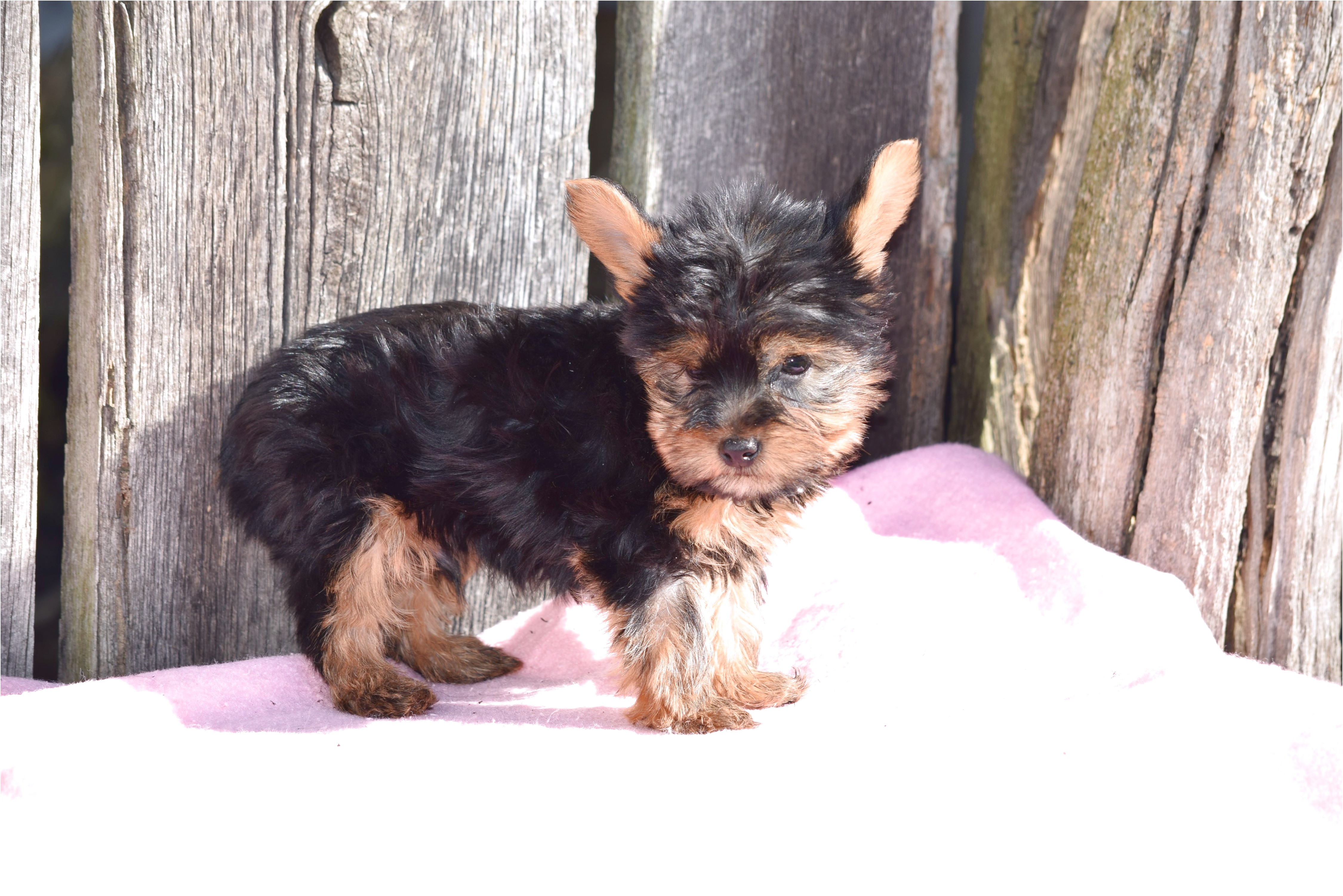 yorkshire terrier puppies for sale ohio