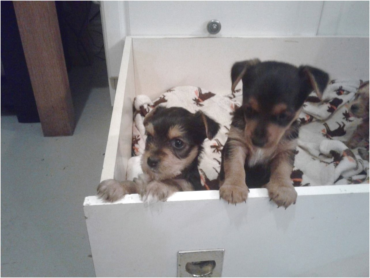 yorkshire terrier puppies for sale rotherham