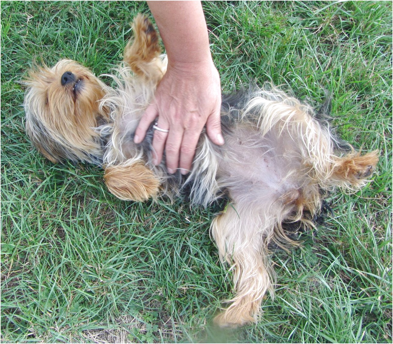 yorkshire terrier puppies for sale rspca