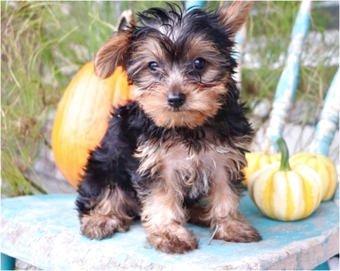 yorkshire terrier puppies for sale san jose ca