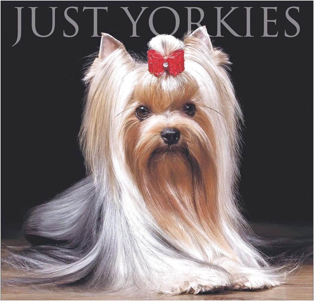yorkshire terrier puppies for sale uk