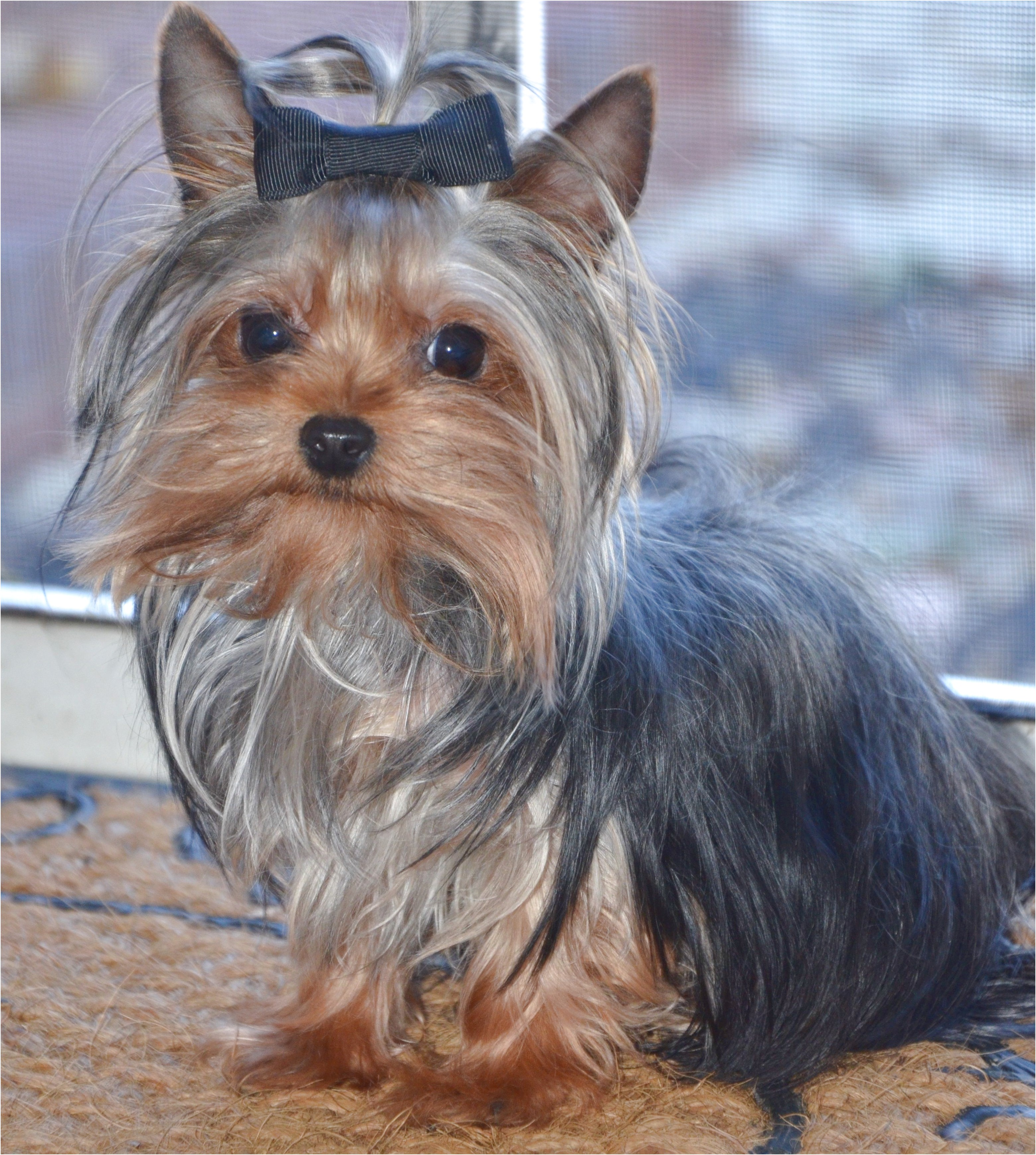 yorkshire terrier puppies for sale under 200