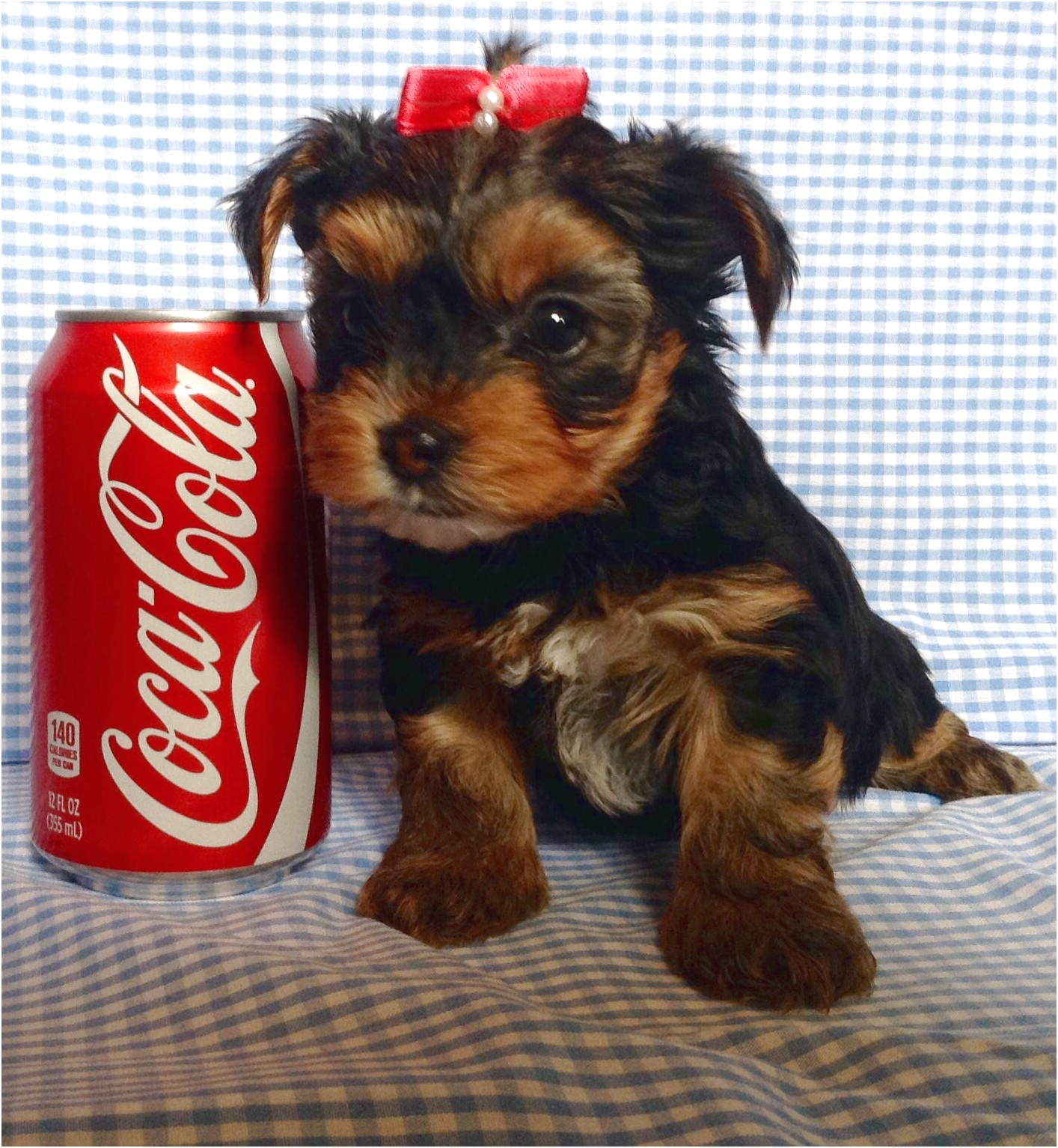 yorkshire terrier puppies for sale under 500