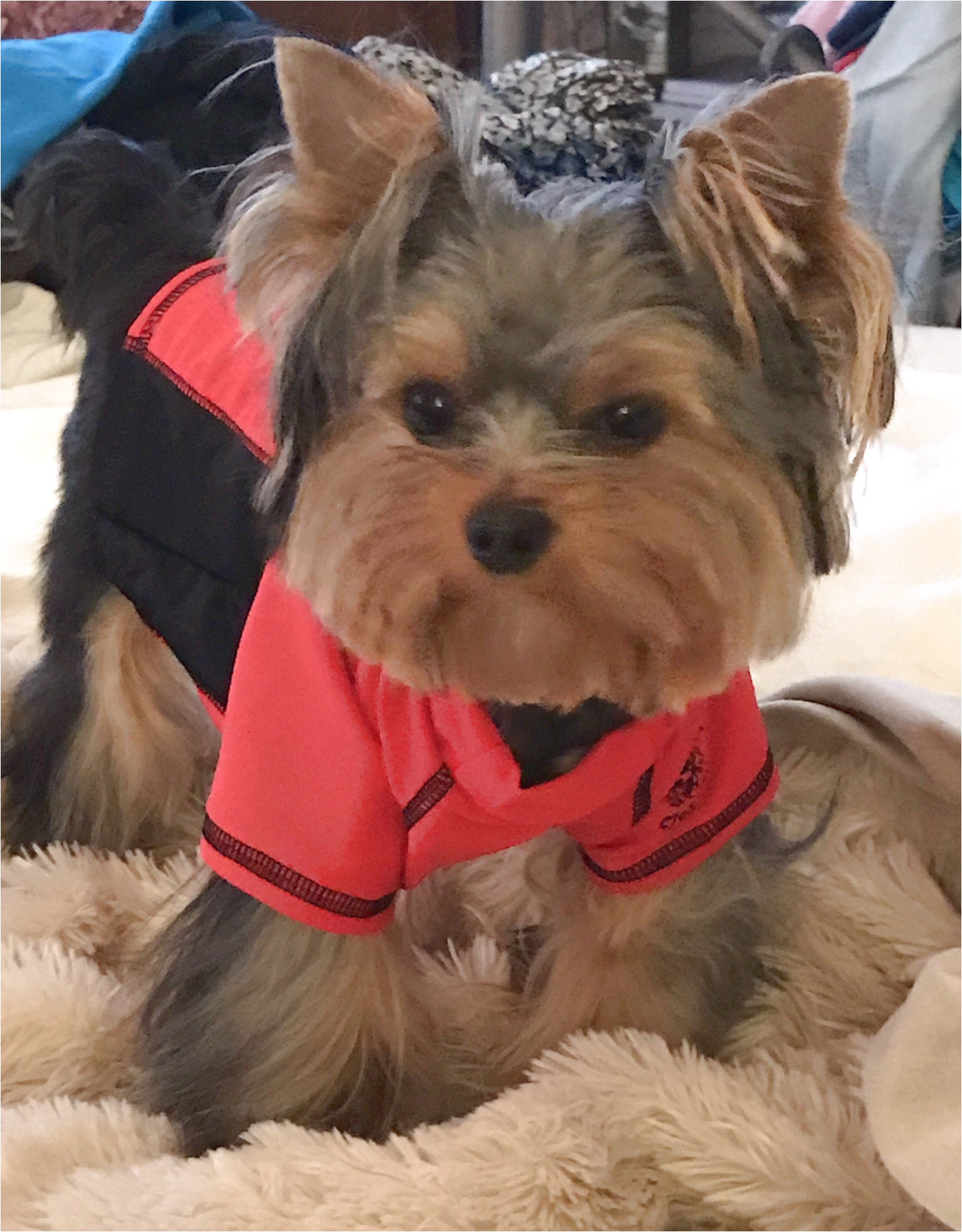 yorkshire terrier puppies for sale vic