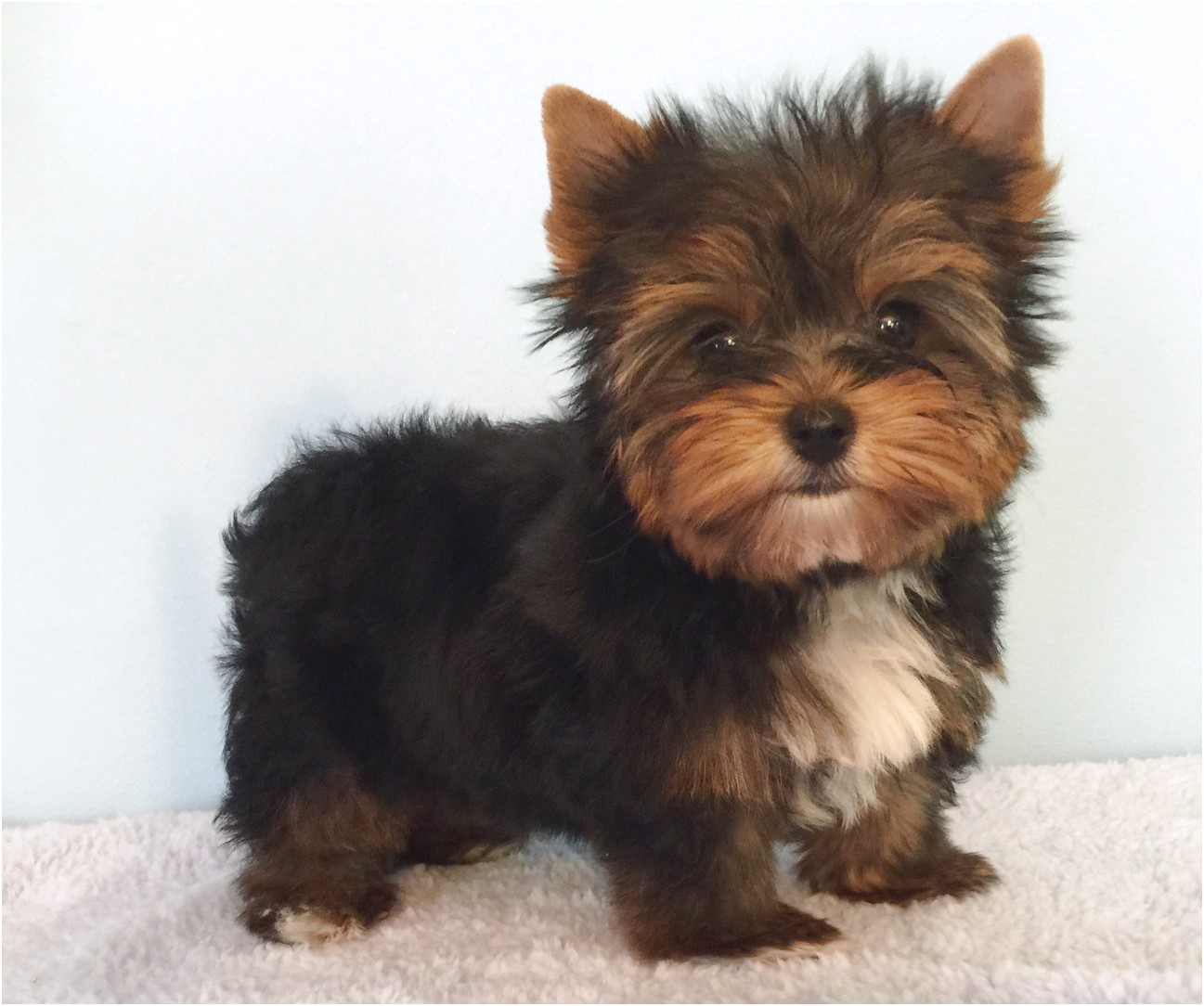 yorkshire terrier puppies for sale virginia